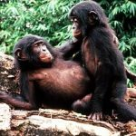 Into the mind of the forgotten ape: bonobo behaviour and the evolution of language