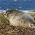 How is Pollution affecting Scottish Seals? Monday 9 October 2017, 7pm
